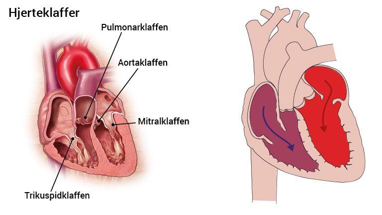Hjertet anatomi latin